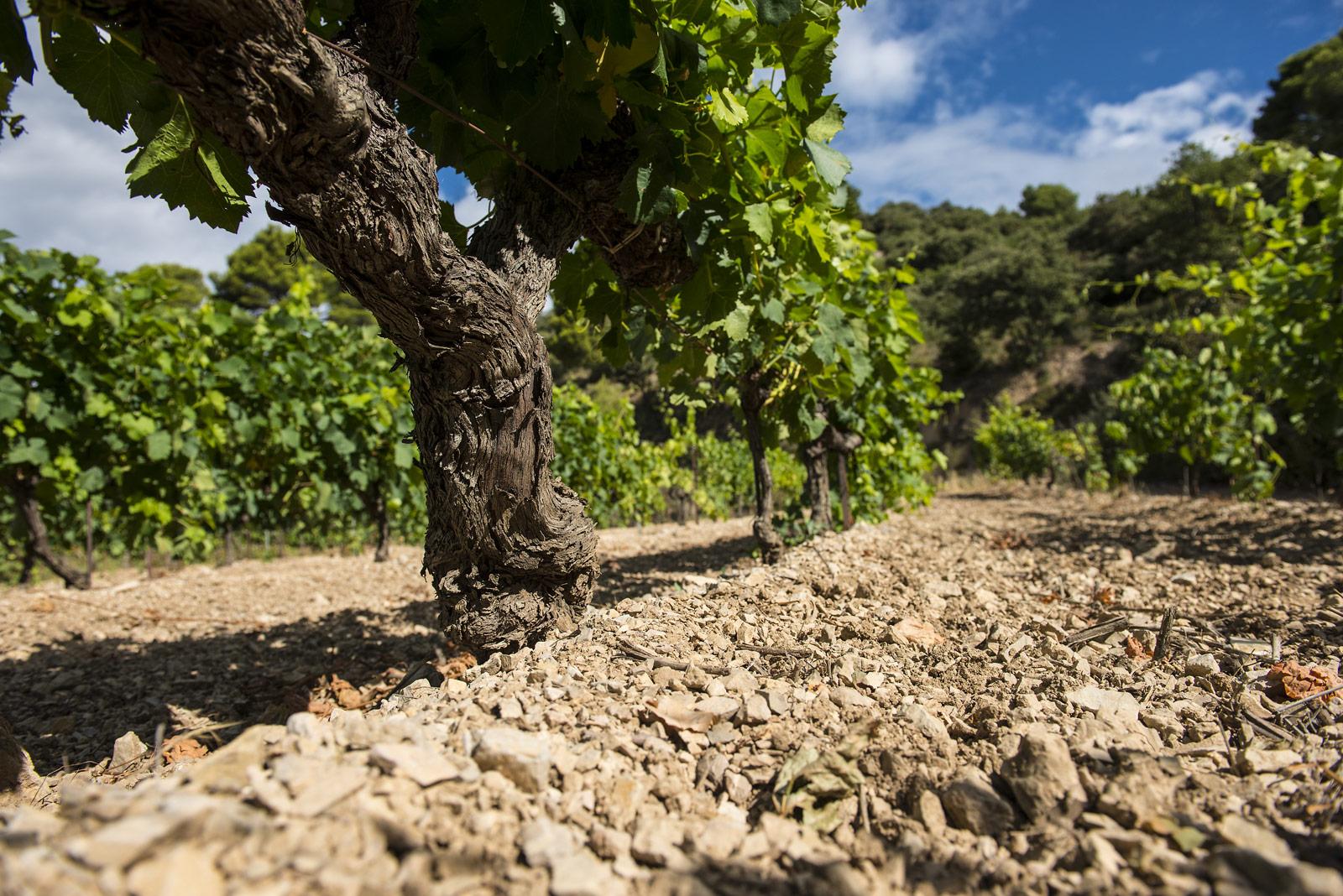 Cep de vigne et terroir de cailloux